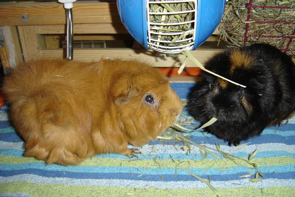 Piggies at Hay Wheel